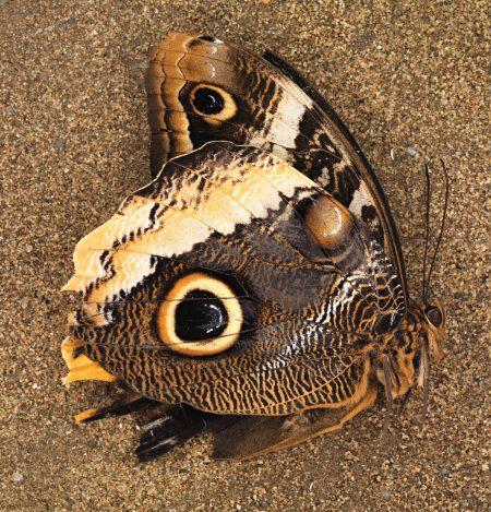 butterflyfoss