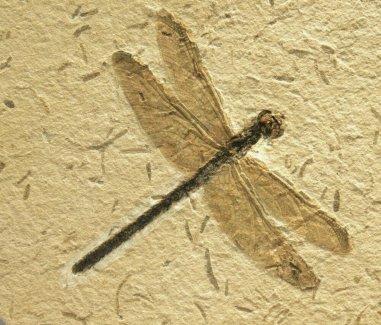 dragonflyfoss