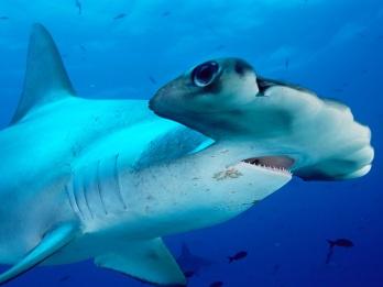 Hammerhead -Shark-01