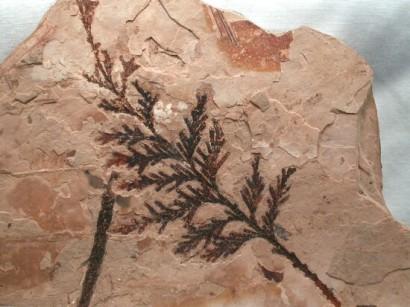 fossilmuseum.net